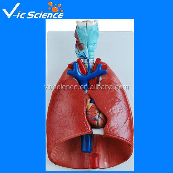 human respiratory system  Description Parts Function