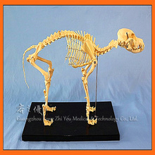 High Quality Biology Teaching Animal Dog Canine Skeleton Model (R190112)