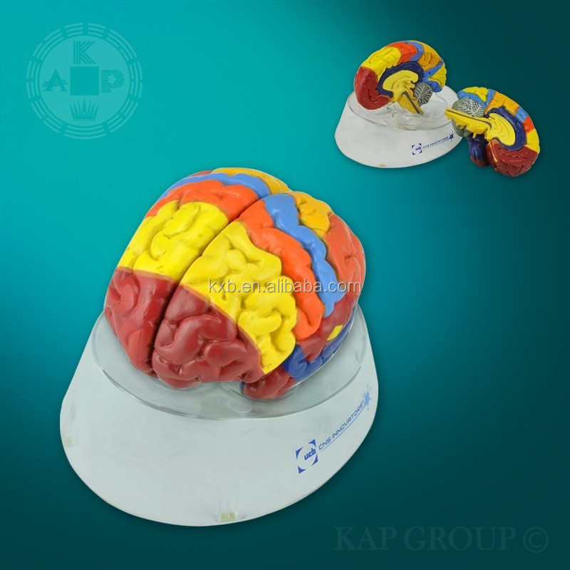 Human anatomic plastic 3d brain model for promotional gift