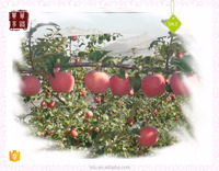 2016 custard royal fresh red apple from Shaanxi