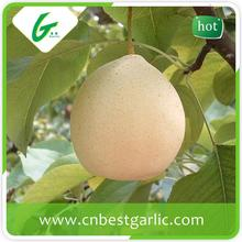 ISO certification professional delicious fresh ya pear