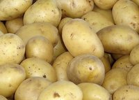 fresh holland potato good quality