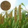 Lu shu zi bulk best price animal feed Green Millet