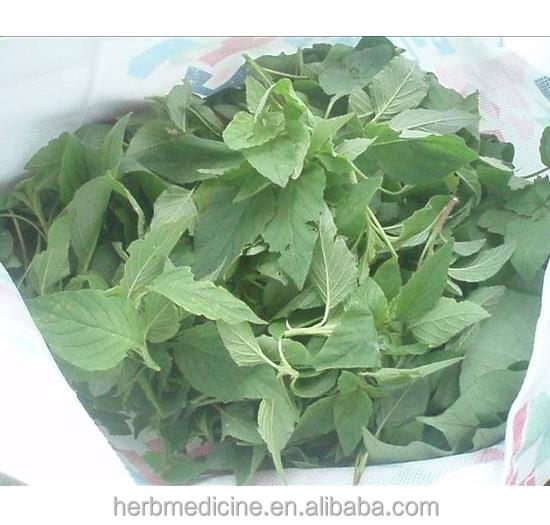 Amaranthus Viridis L homology of medicine and food