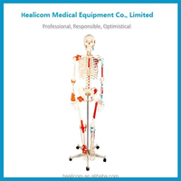 H-11102-1 180CM Human Skeleton with Painted Muscle and Ligament Model