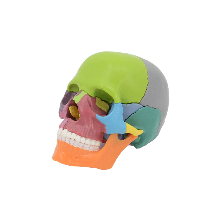 PNT-1159 1/2 size skull <strong>model</strong> 15parts with magnets hot sell detachable medical <strong>model</strong> for school