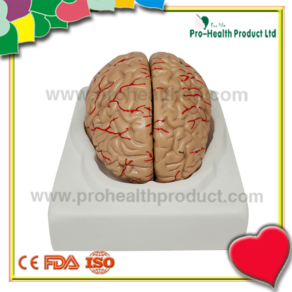 Human End Brain Cerebrum Cortex Anatomical Educational Teaching Model