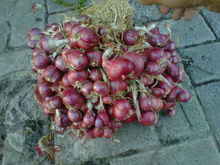 red onion indonesian