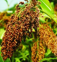 Organic Sorghum For Sale