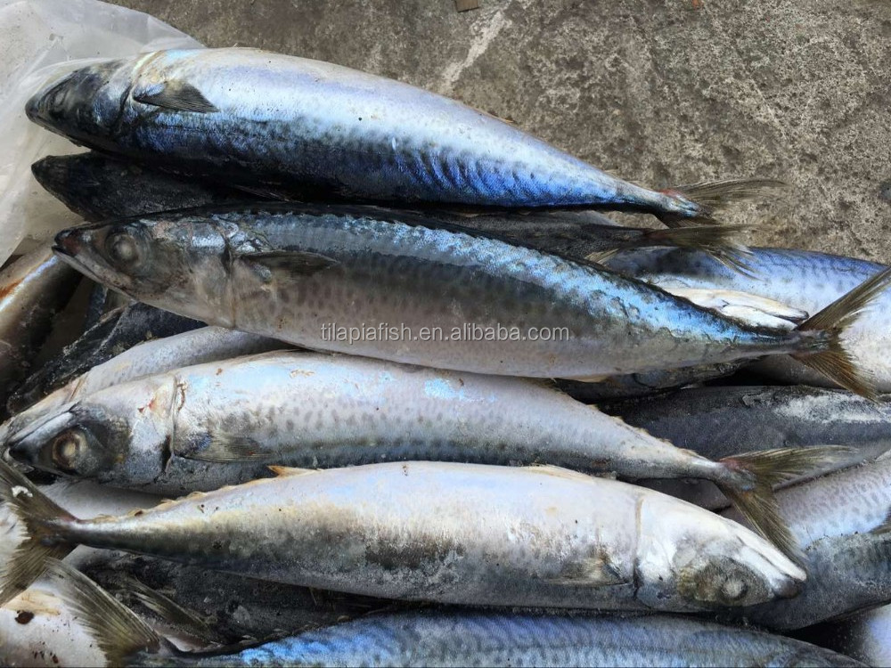Oily Type Frozen Mackerel Fish Pacific Mackerel