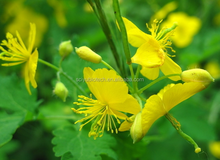 Weeping Forsythia P.E./ Forsythia Suspensa Fruit Extract / Forsythia Fruit Extract