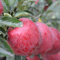 China red mature huaniu fresh apple for sale
