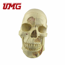 Human Medical Anatomical Plastic Skull Model For Sale