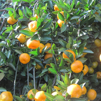 Baby mandarin /fresh mandarin orange/tangerine for Russian market