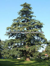 cedar seed for large scale plantation
