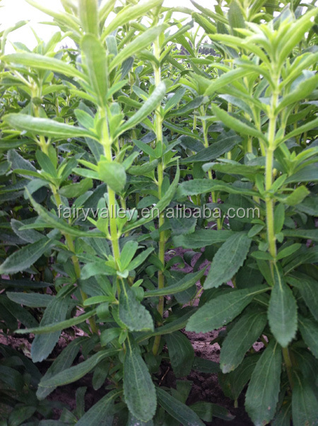High Yield High RA Content Seeds Stevia/Stevia Seeds/Stevia Rebaudiana Seed For Planting New Variety-Xian Nong No.2