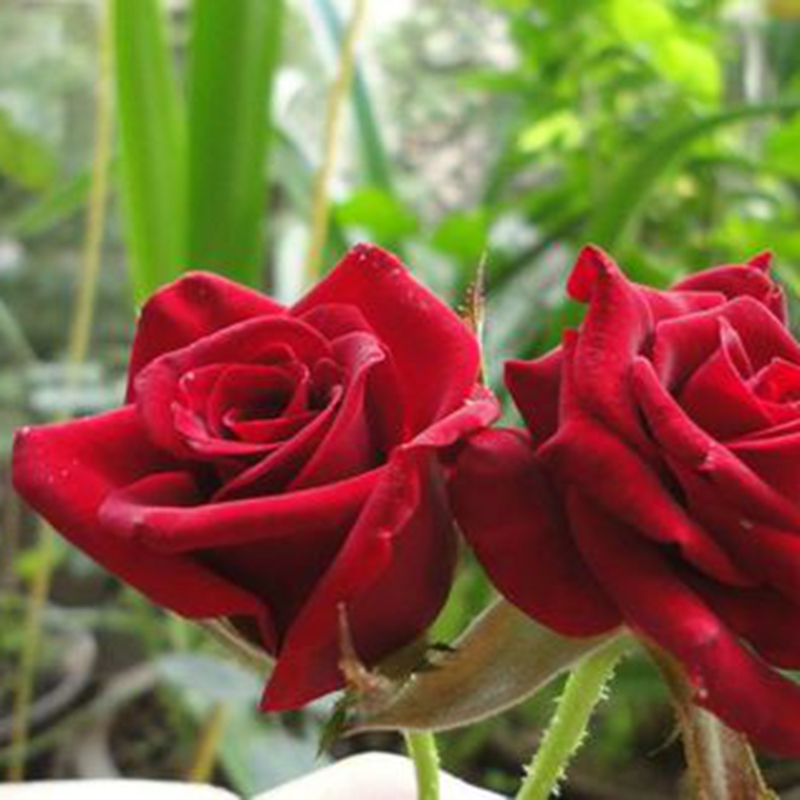 Natural rose flowers fresh cut flowers Black Magic Roses wedding decoration from KUNMING