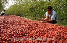 5A grade Red Xinjiang dates