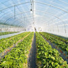 Multispan Agricultural Greenhouse For Vegetable