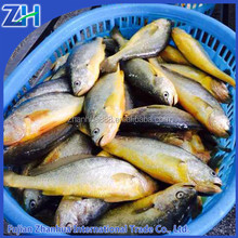 frozen yellow croaker fish 2015 with roe/egg