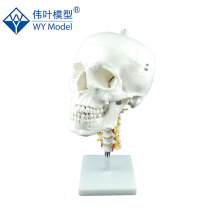 Popular Biological Plastic Skull Anatomical 3d Model