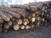 Radiata Pine, Timber, Logs , Poles for Electricity Line, Eucaliptus