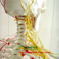 Hot Sale Professional Full Size Human Skeleton Model for Medical Educational