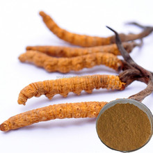 dong chong xia cao extract cordyceps sinensis extract powder