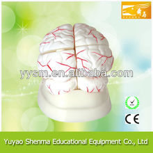 Human brain anatomical model with blood vessel plastic brain models