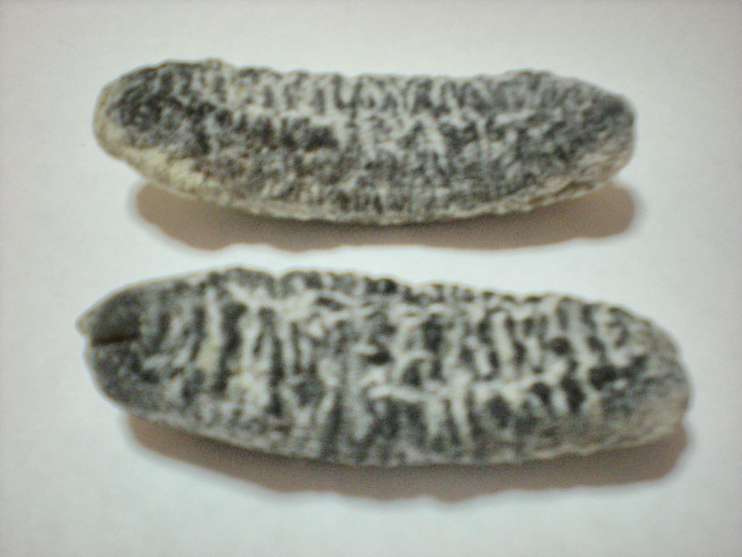 WHITE SEA CUCUMBER DRIED