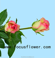 wholesale fresh cut flowers colombia rose flower new arrival hopeshow rose with 20 stems/bundle