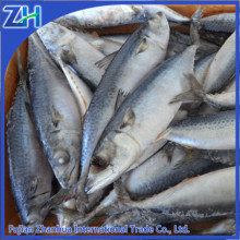 scientific name of frozen pacific mackerel fish seafood wholesale