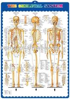 3d chart,anatomy chart, THE SKELETAL SYSTEM 1