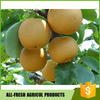 2016 New Crop Organic fresh pear Singo Pear