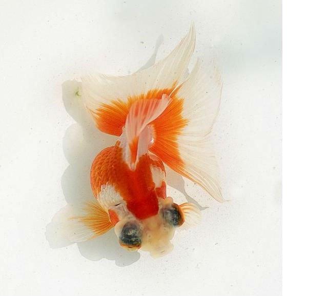 Pesce rosso vivo rosso bianco farfalla brughiera altri for Pesce rosso butterfly