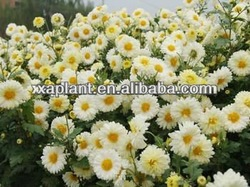 100% Natural organic chamomile extract--98%apigenin