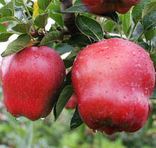Famous Huaniu apple bulk fresh huaniu apple wholesale