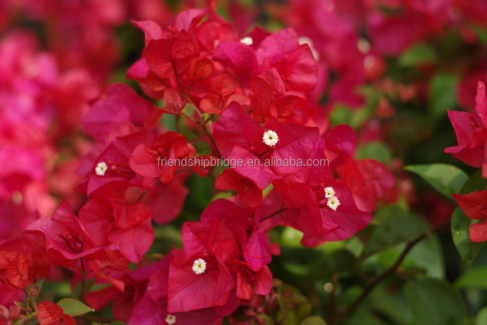 outdoor plants Garden Bougainvillea glabra Choisy bonsai