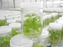 250ml Tissue culture experience glass jar