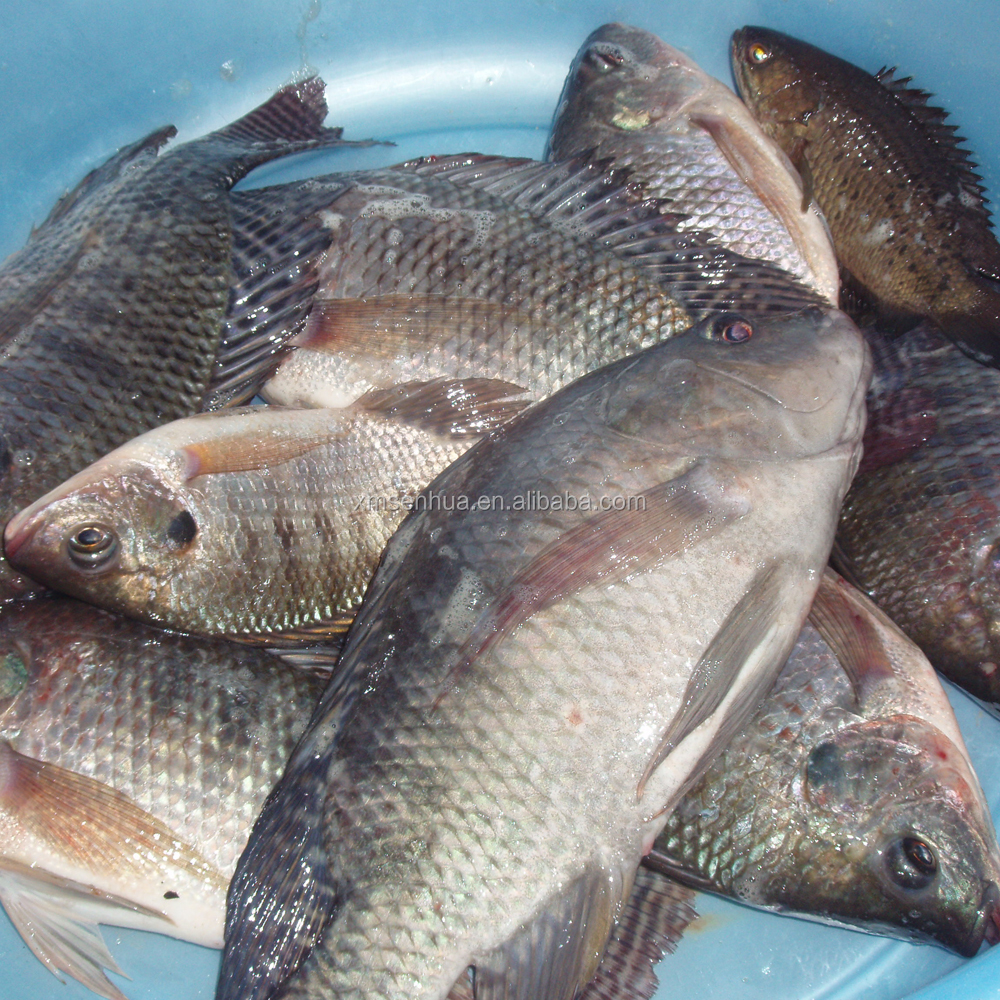 Frozen seafood tilapia hot sell whole round tilapia fish for Tilapia not real fish