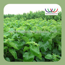 free sample ! China wholesale FDA ,KOSHER ,ISO ,HALAL morus alba leaf extract , organic mulberry leaf extract