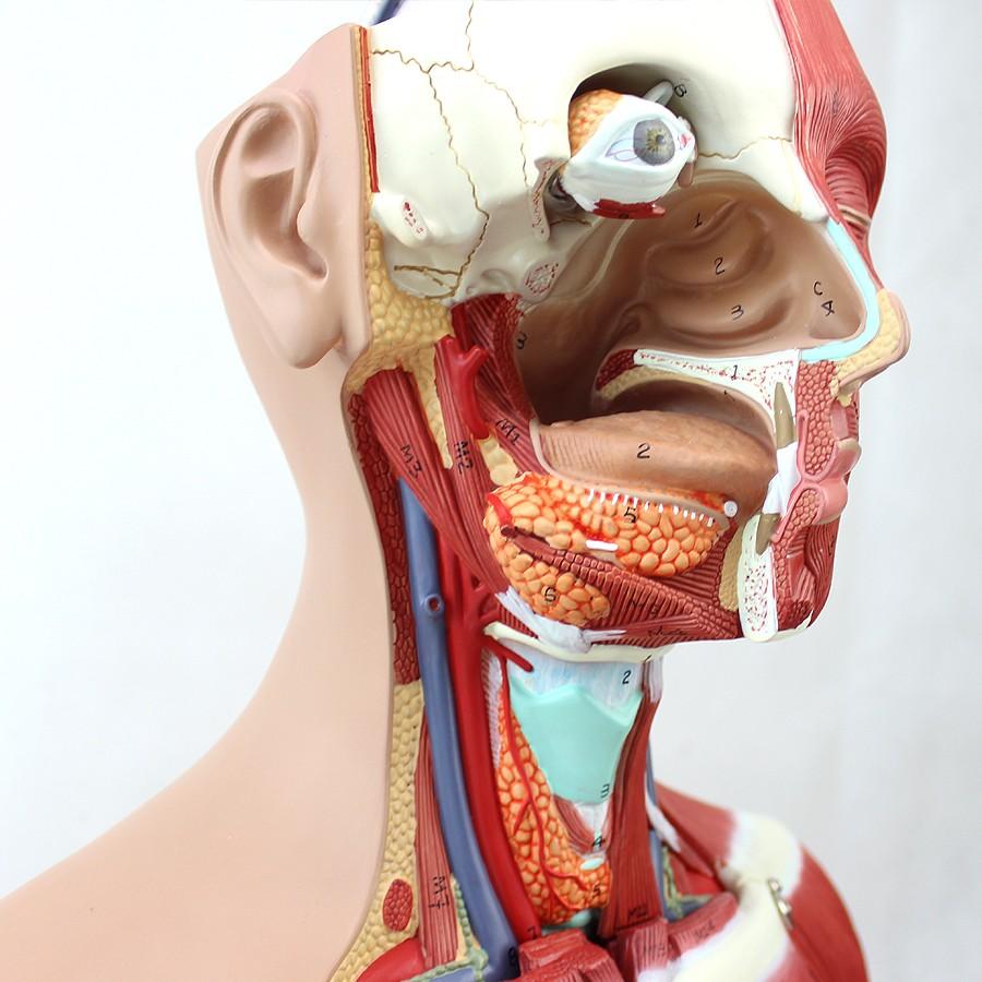 Enovo Wholesale 12016 Torso Anatomy 29 Parts85cm Deluxe Sex Medical