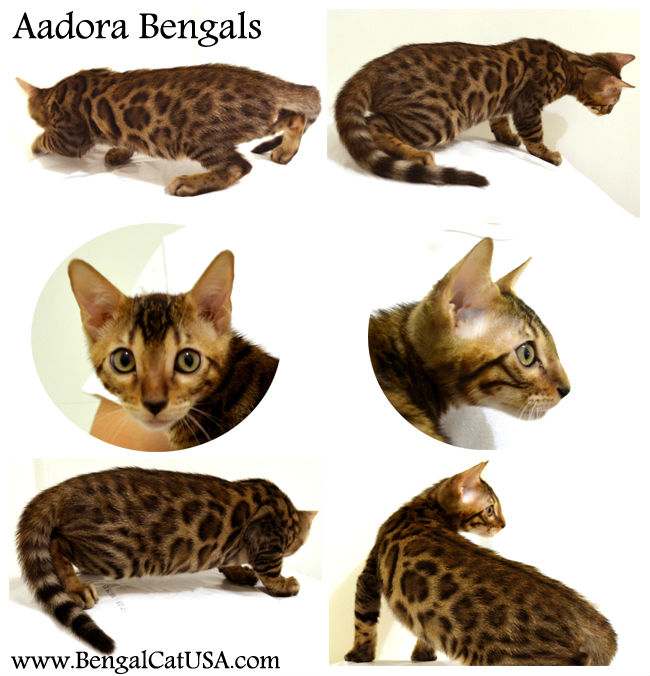 Aadora Bengal Kitten For Sale - Male