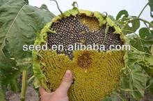 Chinese hybrid confectionery sunflower seed for sale