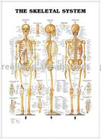 3d chart,anatomy chart, THE SKELETAL SYSTEM