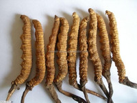 Hot sale Summer-grass winter-worm (Chong Cao)