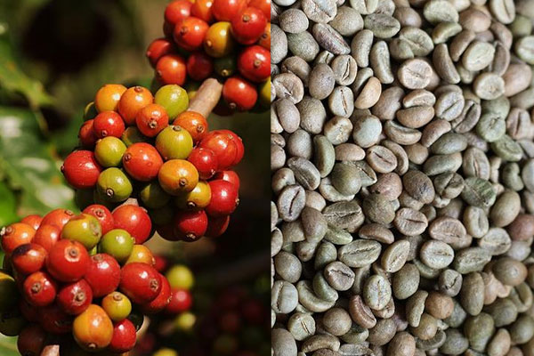 ORGANIC COFFEE BEANS / VIETNAM ROBUSTA COFFEE - HANFIMEX FACTORY