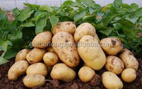 Fresh Holland Potato in Low Price