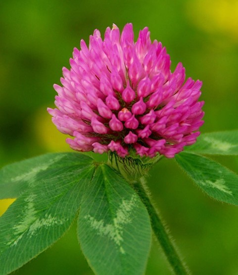 antivirus activity natural red clover extract powder isoflavone