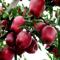 Chinese Fresh fruit 2016 Fresh Red Huaniu apple for export